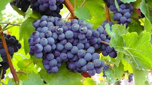In-plant base food items, grapes can also be eaten for healthy and beautiful hair growth