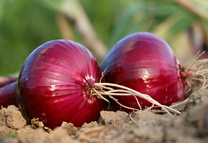 Benefits of Onion Juice for Hair. It helps in hair growth, hair loss and scalp problems.